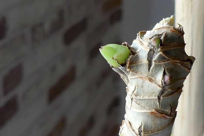 der Drachenbaum treibt neu aus