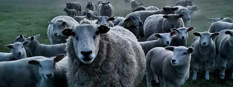Die kleine, neue Welt der Schaf-Gudrun.