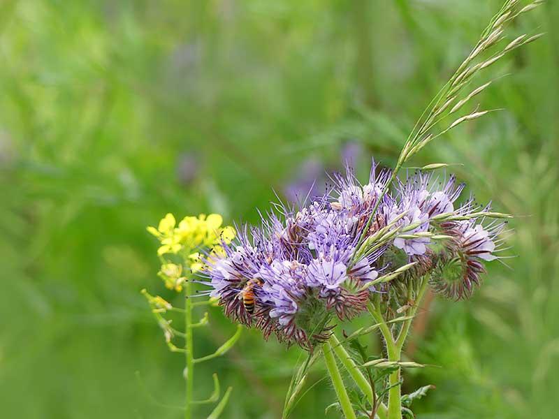 Bienenfreund auf der Blühwiese