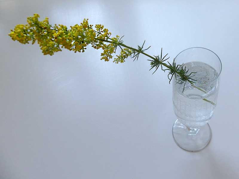 ein Zweiglein blüht und duftet - Labkraut.