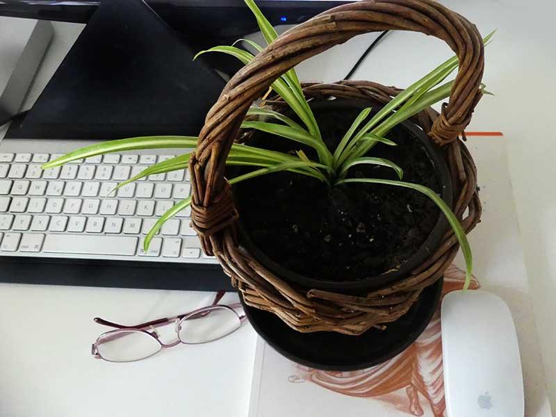 es grünt - die kleine Grünlilie muss noch wachsen