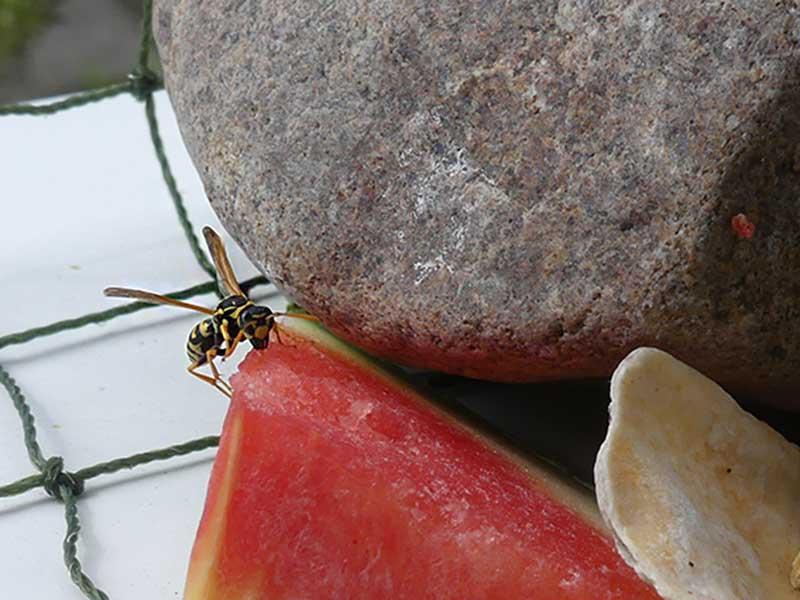 meine Haus-und -Hof-Wespe hat Hunger auf Zucker