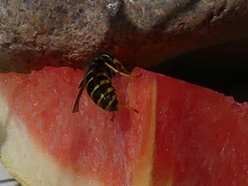 meine Wespe hat Hunger auf Zucker