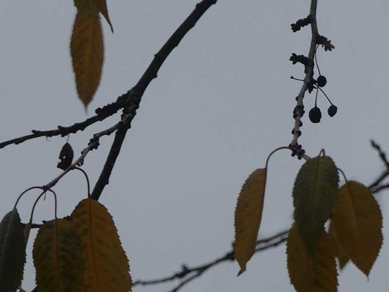Kirschen im November