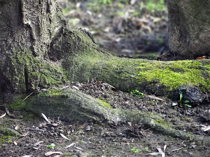 Kirschbaumwurzeln