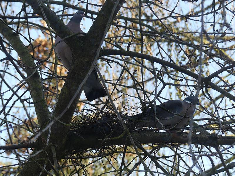 Probesitzen im alten Nest der Türkentaube