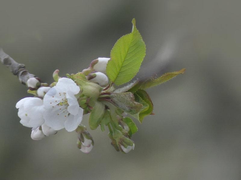 Mein Kirschbaum erwacht zum Leben