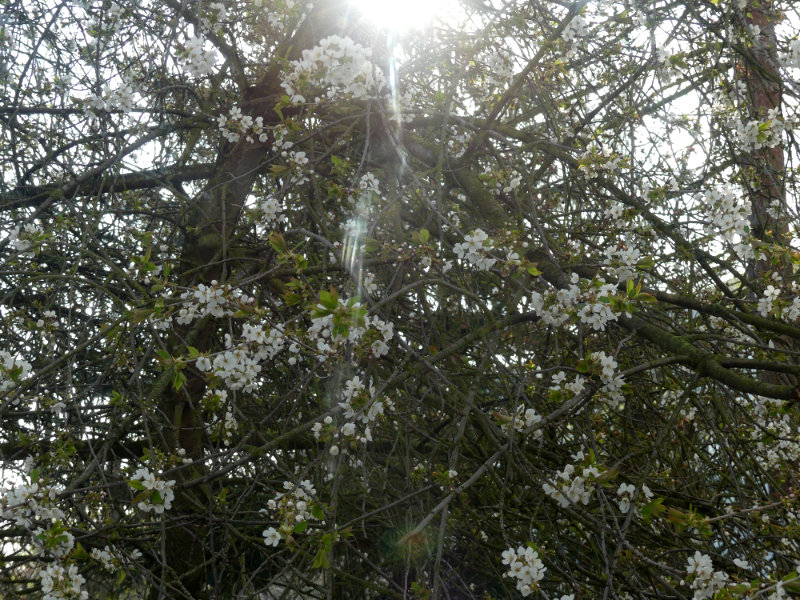 Sonne hinter dem Kirschbaum