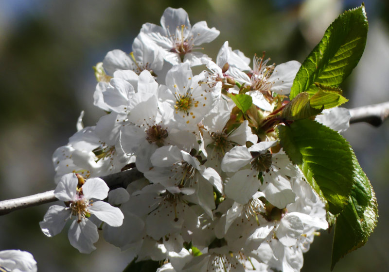 der Kirschbaum bekommet Blätter