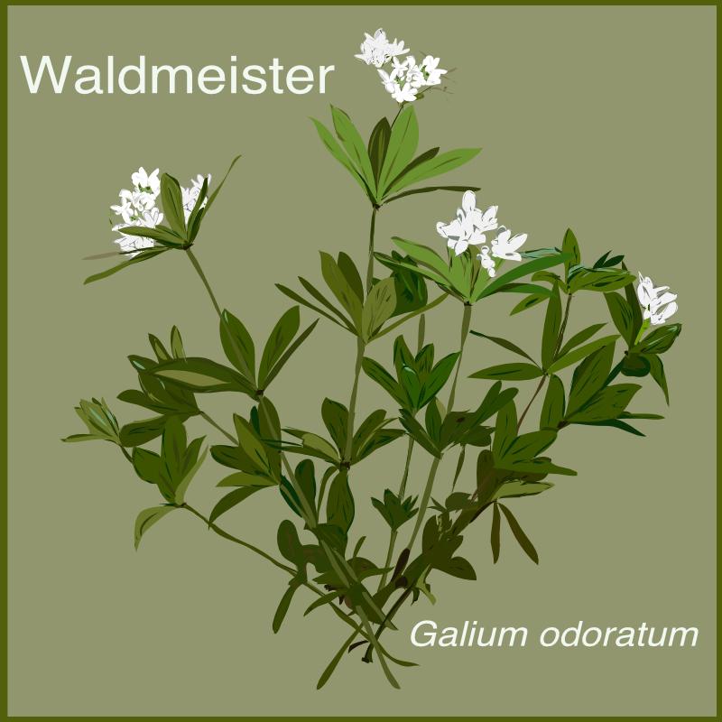 Waldmeister aus dem Kräutergarten