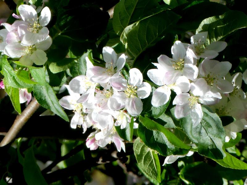 blühender Apfelbaum vor dem Balkon