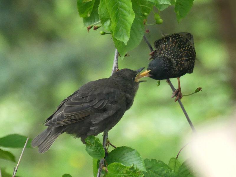 das Füttern der Jungvögel