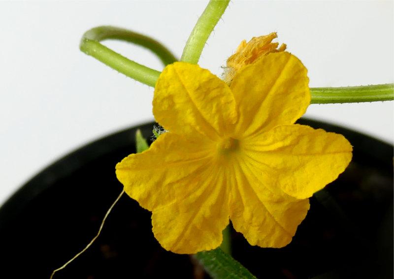 erstes Produkt der Gartenarbeit zu Hause: Gurkenpflanze.