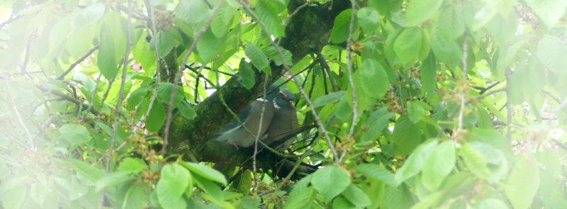 Warum meine Vögel beim Schlafen nicht vom Kirschbaum fallen?