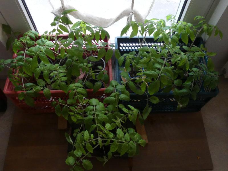 viele Kräftige Tomatenpflanze aus der Gartenarbeit zu Hause
