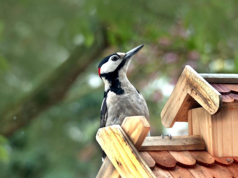 Der Buntspecht auf dem Vogelhaus