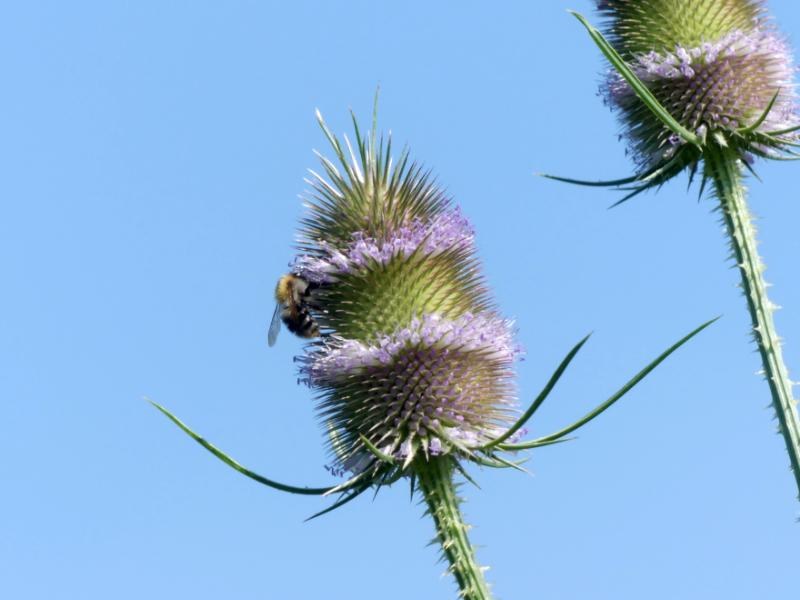 Biotop im Garten: Kardendistel