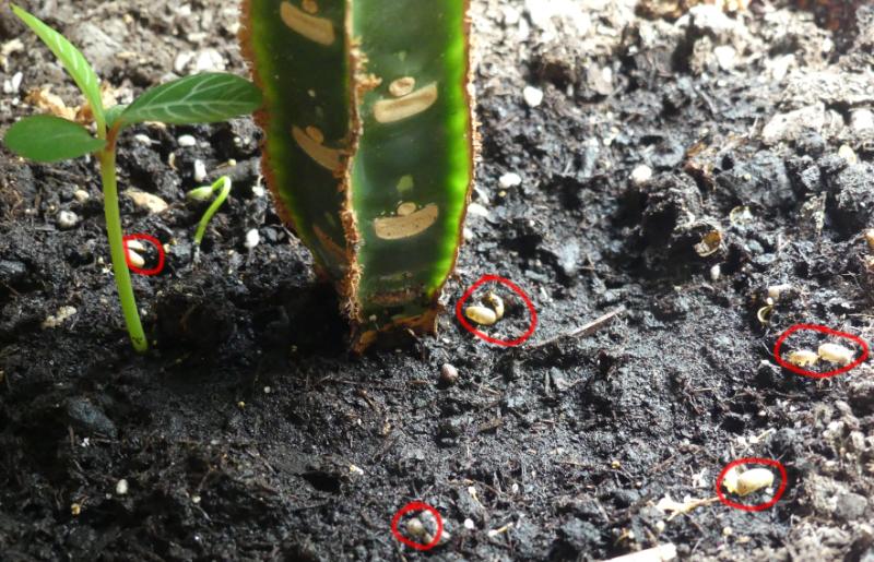 eine effektive Pflanze: Madagaskarpalme