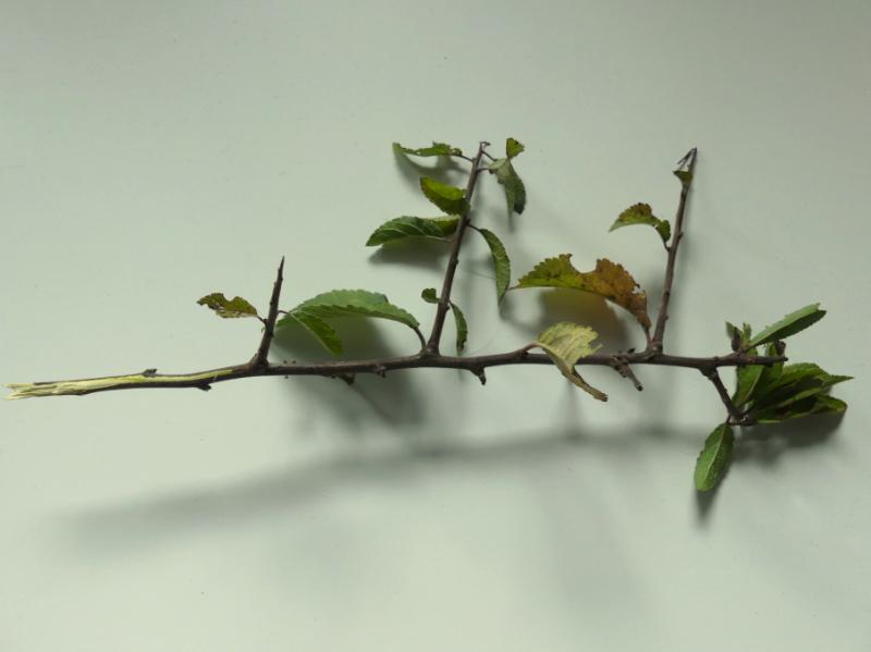 ein Zweig der Schlehen