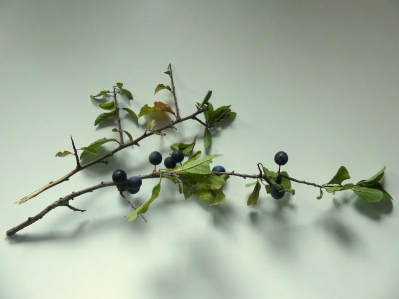 Zweige von Schlehen